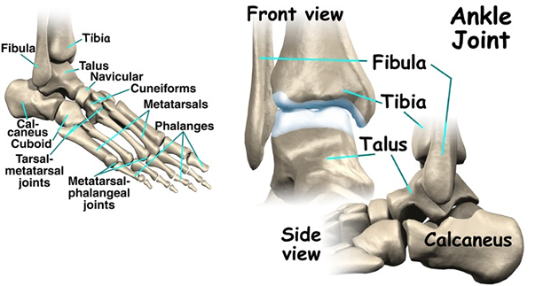 ankle bones anatomy