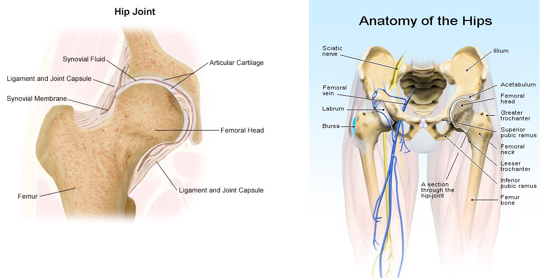 hip anatomi image 1