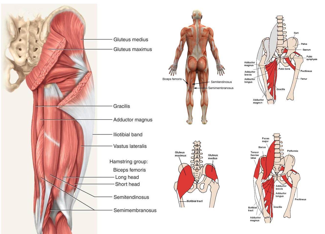 hip anatomy image 2